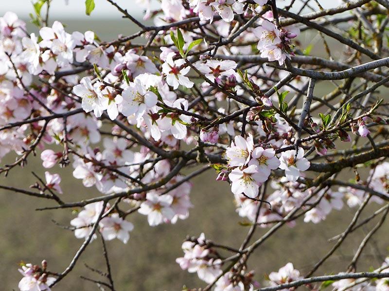 zamora almendros en flor