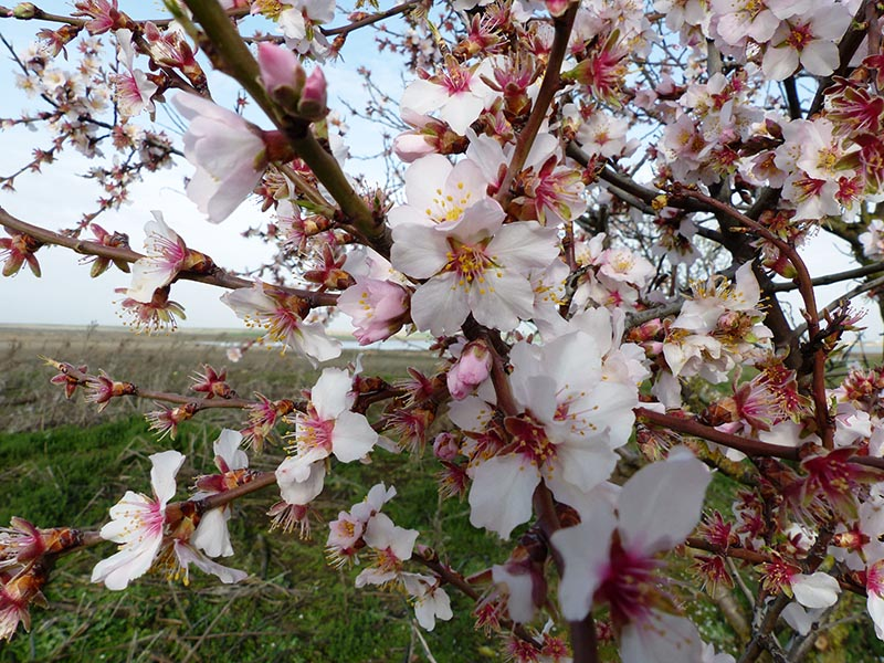 almendros en flor en zamora