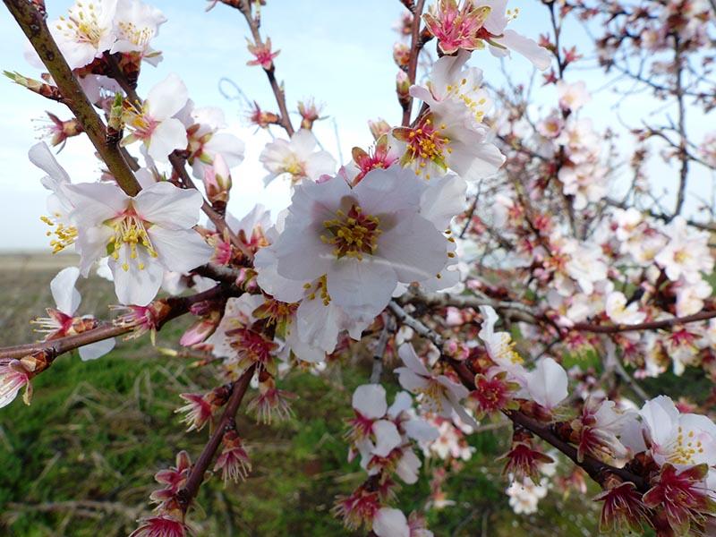 floración almendros