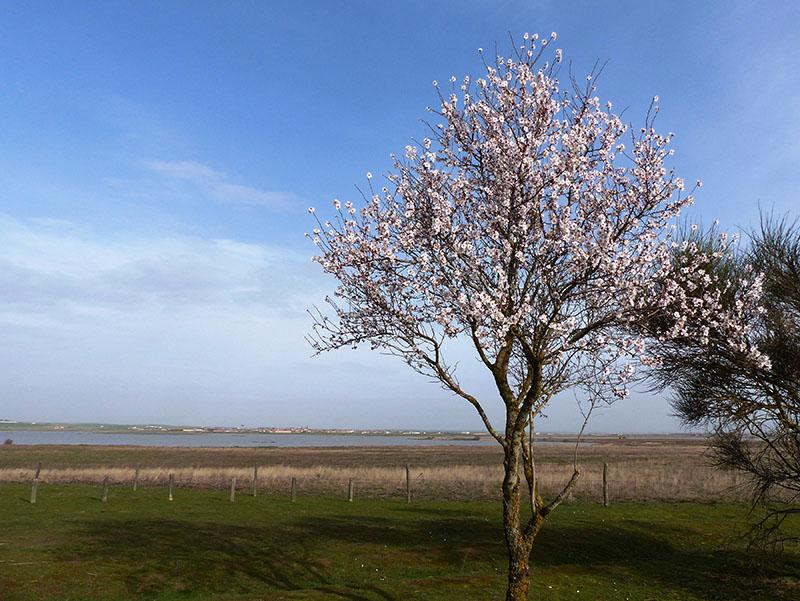 almendros en flor lagunas villafáfila